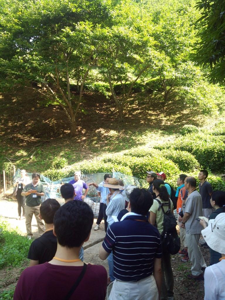 谷間の茶畑と栗林