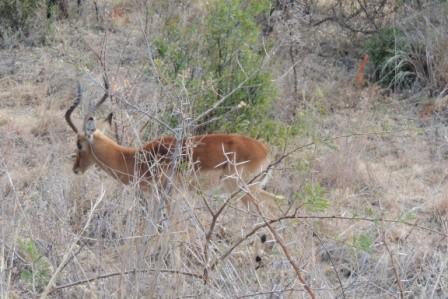 ...Springbock (das Nationaltier in Südafrika)...
