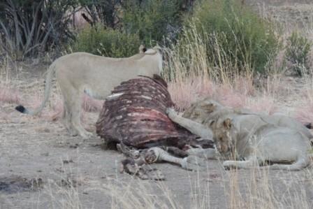 Seit mehreren Tagen bereits fraßen die Löwen an der Giraffe, die dort verendet war.
