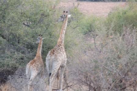 ...Giraffen...