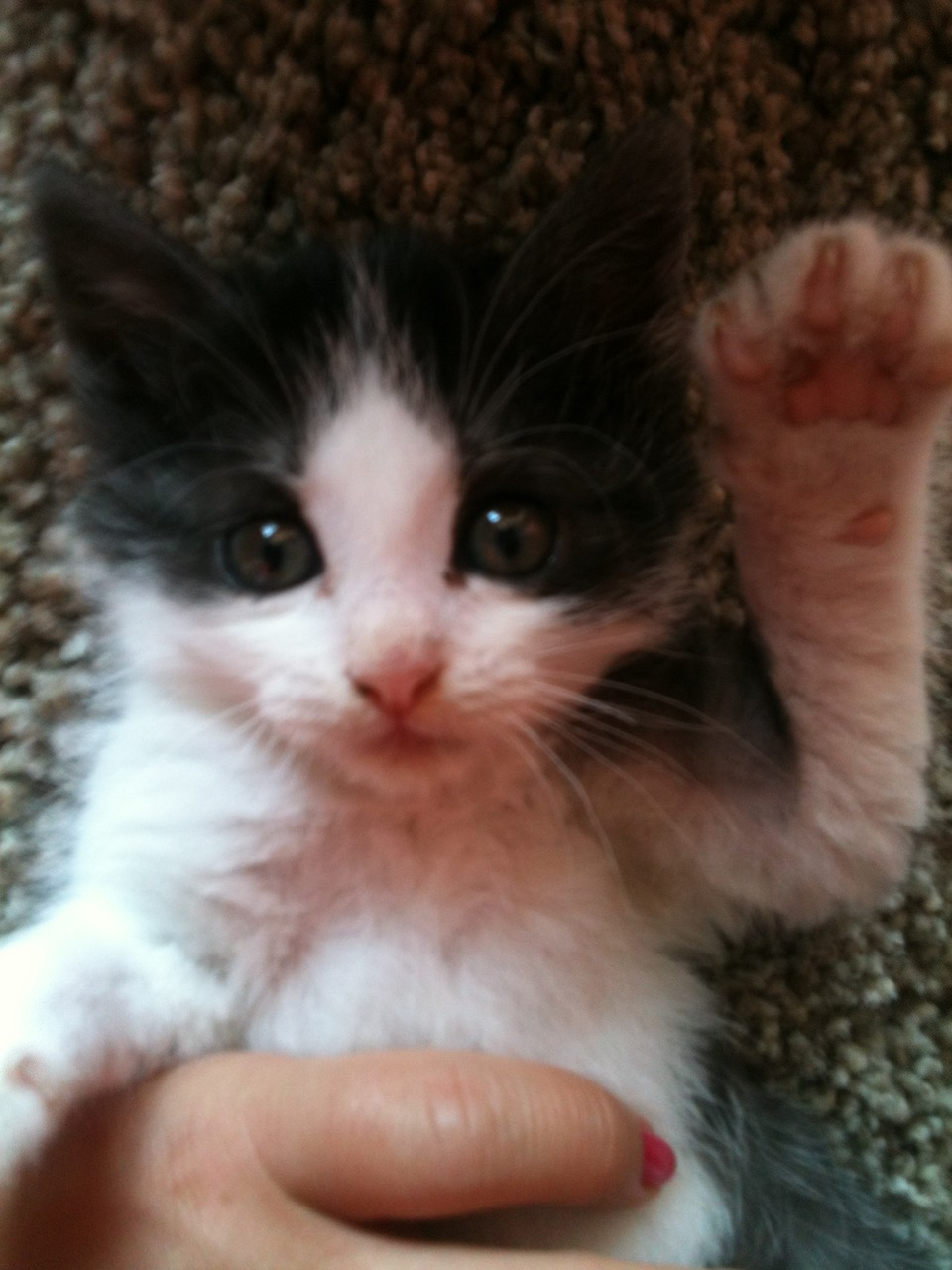 ostéopathie viscérale chez un chaton