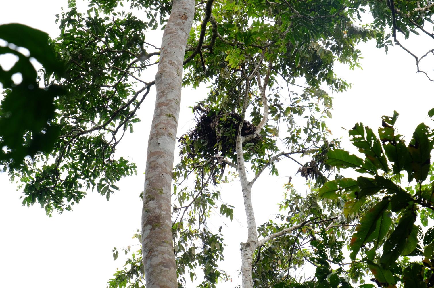 Seht ihr es? Da oben das Orang Utan Nest. Orang Utans bauen sich täglich ein neues Nest
