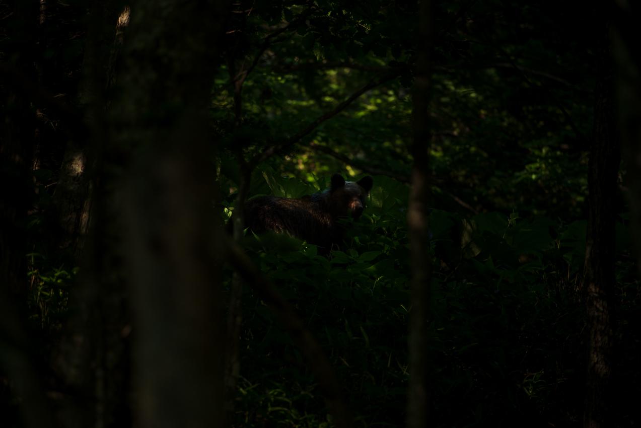 2019.7.8 北海道上士幌町 蝦夷ヒグマ