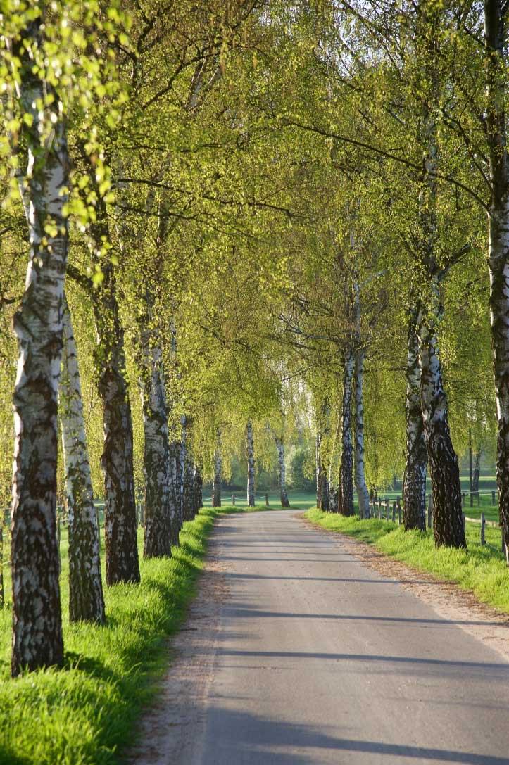 Birkenallee im Frühjahr.