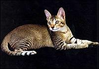 Ratnalankas Ceylon Cat