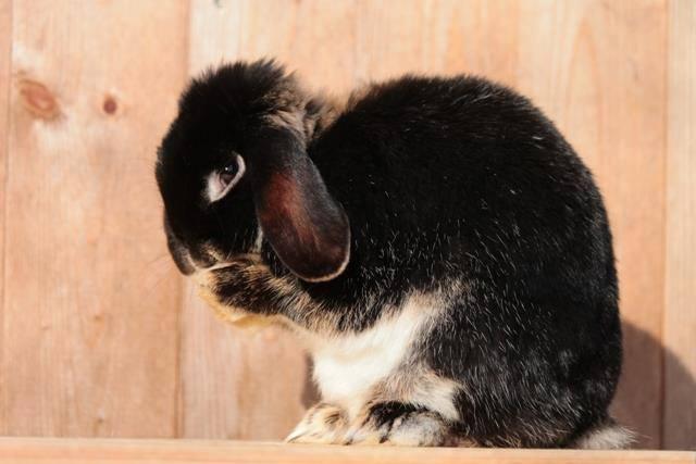 Amia durfte 2,5 Jahre meine Zucht unterstützen. Nun ist sie zurück zu der lieben Katrin gezogen und darf zusammen mit 2 anderen Kaninchen einen riesigen Auslauf bewohnen.