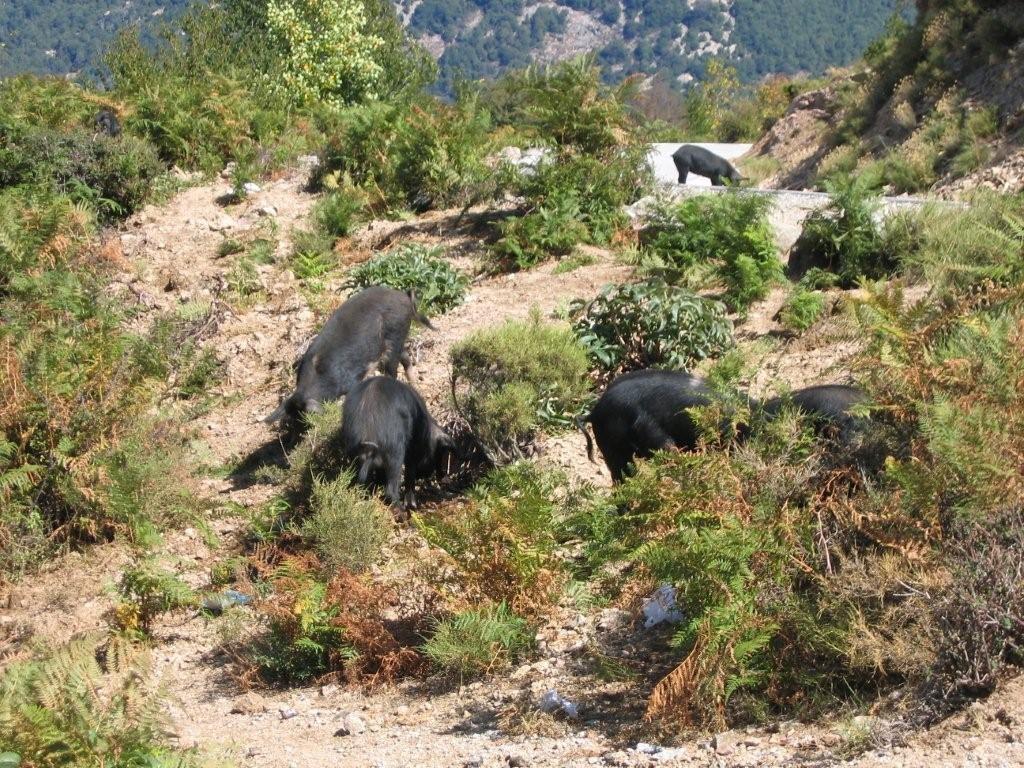 korsische Wildschweine