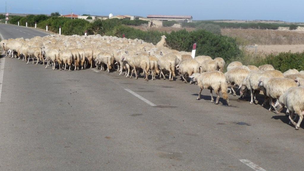 Sinis - Schafe haben Vorfahrt