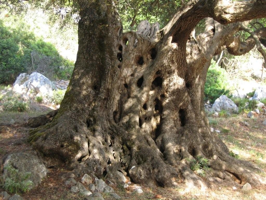 Olivenbaum auf Kefalonia