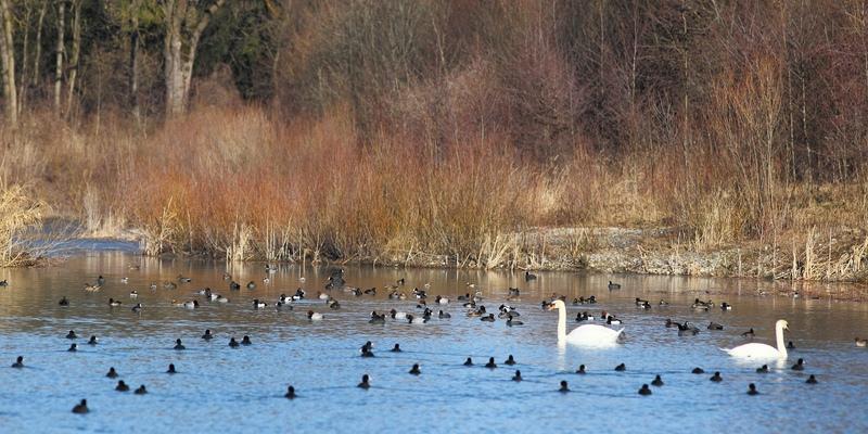 Überwinternde Wasservögel