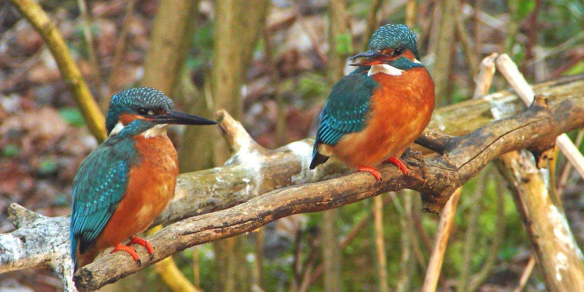 Eisvogel - links Männchen, rechts Weibchen