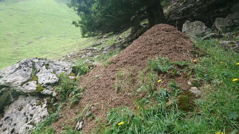 Auf der Alp Tschingelfeld kommt auch die rote Waldameise vor (06.08.2019)