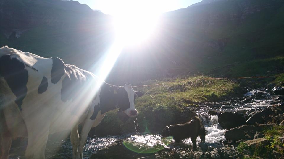 Die Kühe und der Hund geniessen gemeinsam das kühle Nass des Giessbachs (20.07.2019)