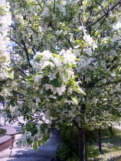 青森県 リンゴの白い花