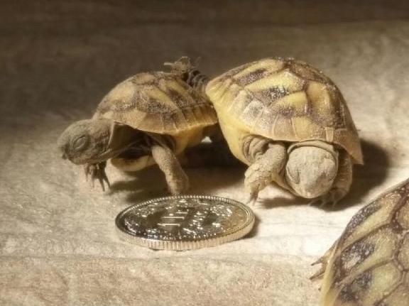 Eineiige Schildkrötenzwillinge (sehr selten)