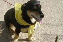 PAÑUELO AMARILLO, perro en adopción.