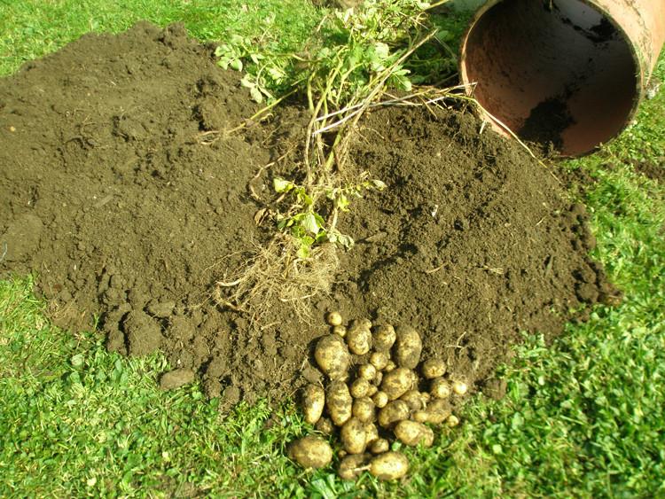 Kartoffeln in einer Tonne/ Fass anbauen Versuch 2013