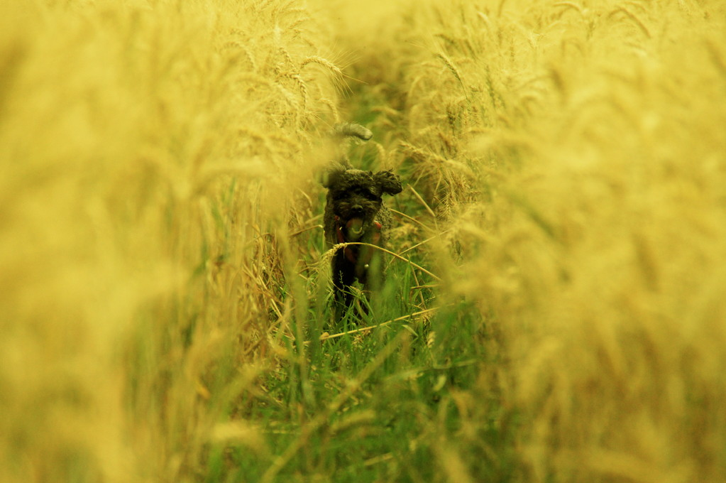 The Catcher in the Wheat I