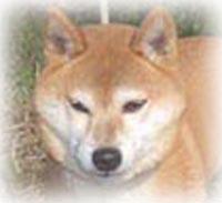 柴犬の顔写真