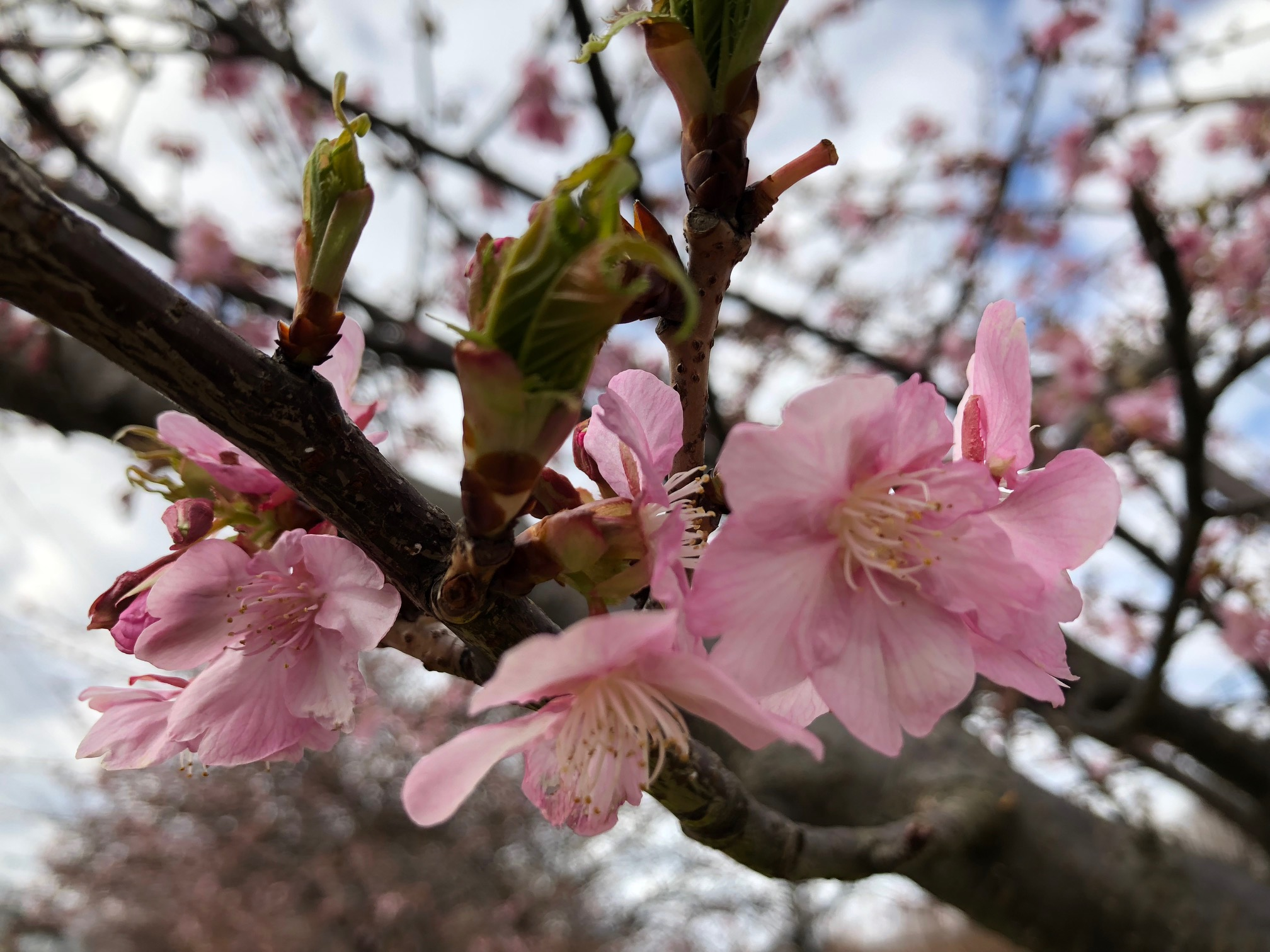 2月12日(火)撮影 1分~2分咲きです。木によっては3分咲きとなっています。