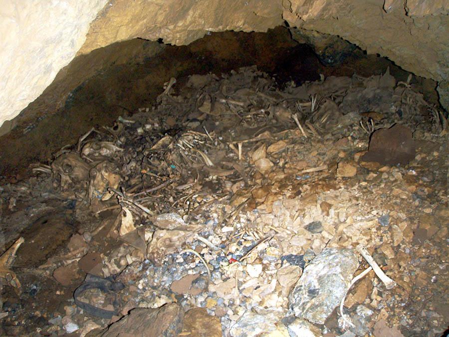 Les squelettes de six brebis gisent sur le sol d'une ancienne galerie dont le plafond s'est en partie effondré et qui a sans doute servi de tanière à des renards ou des chiens errants