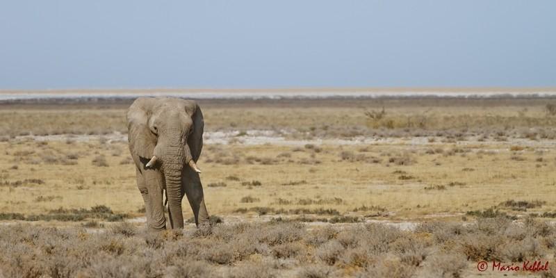 einsamer Elefantenbulle