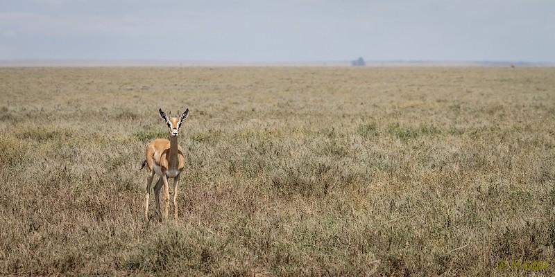 Tansania: Thomson Gazelle