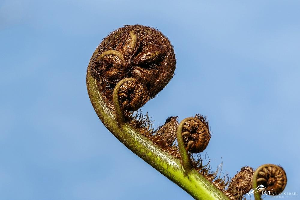 North Island: Baumfarn in der Entfaltung