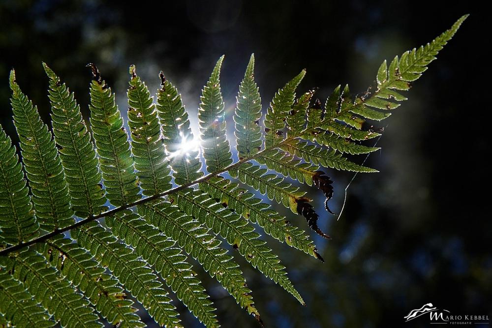 North Island: Neuseelands Nationalpflanze - Silberfarn