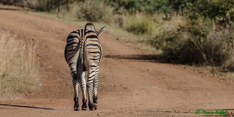 Südafrika: Zebra - Leichter Marsch