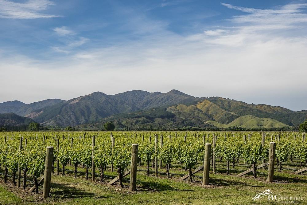 South Island: Weinanbau bei Blenheim