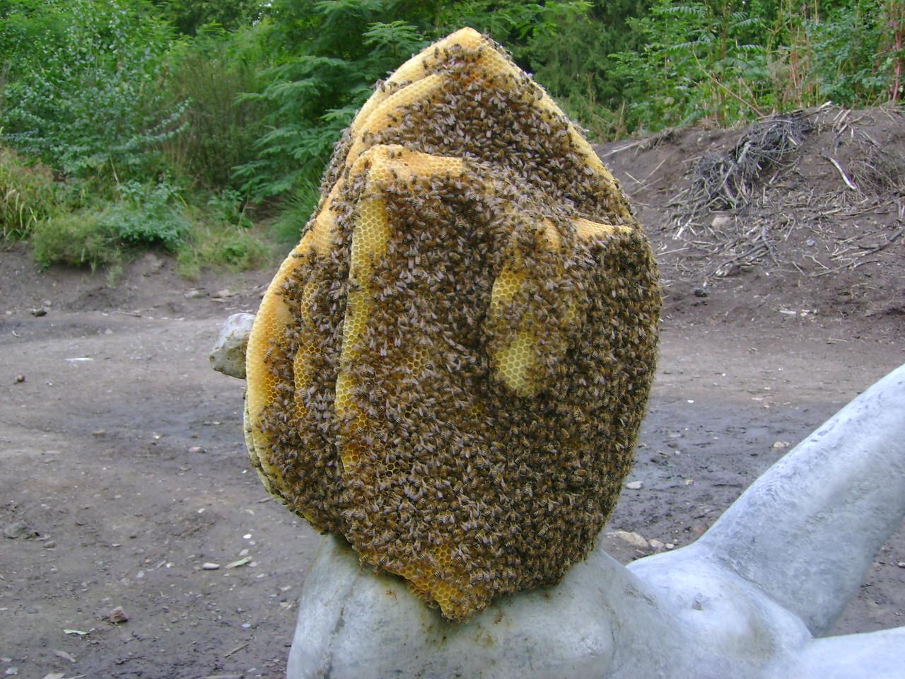 ...vor dem abfegen der Bienen