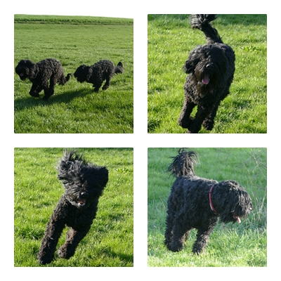 Burle mit seiner großen Terrier Schwester Urmel in Action