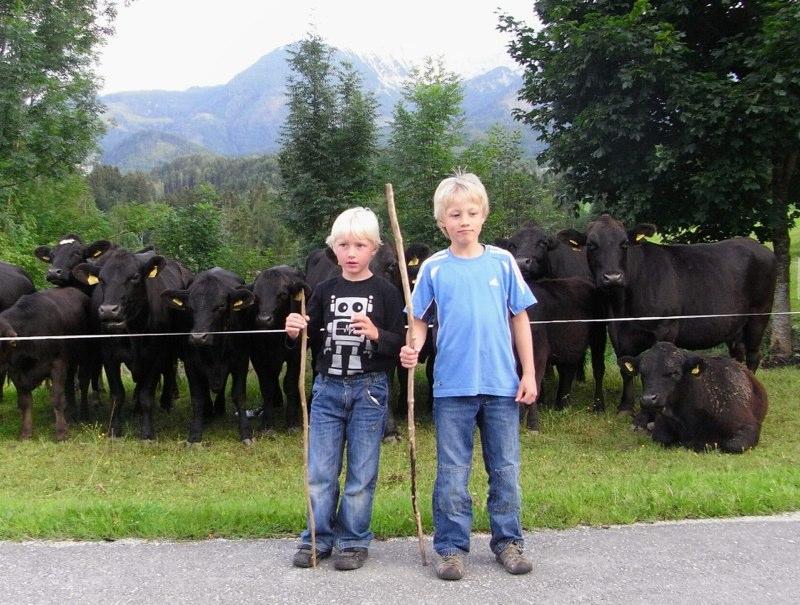 Die Kühe ärgern