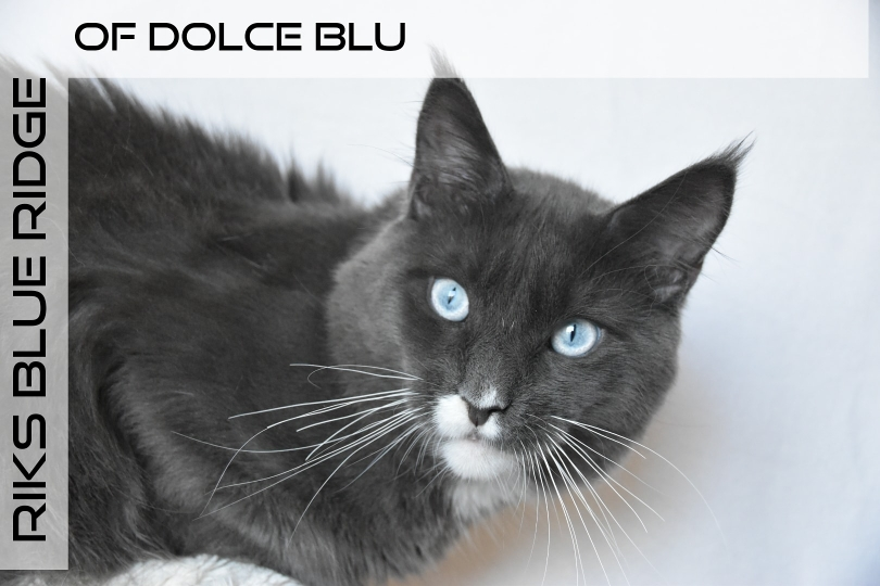 Riks maine coon blu smoke and white whit blue eyes