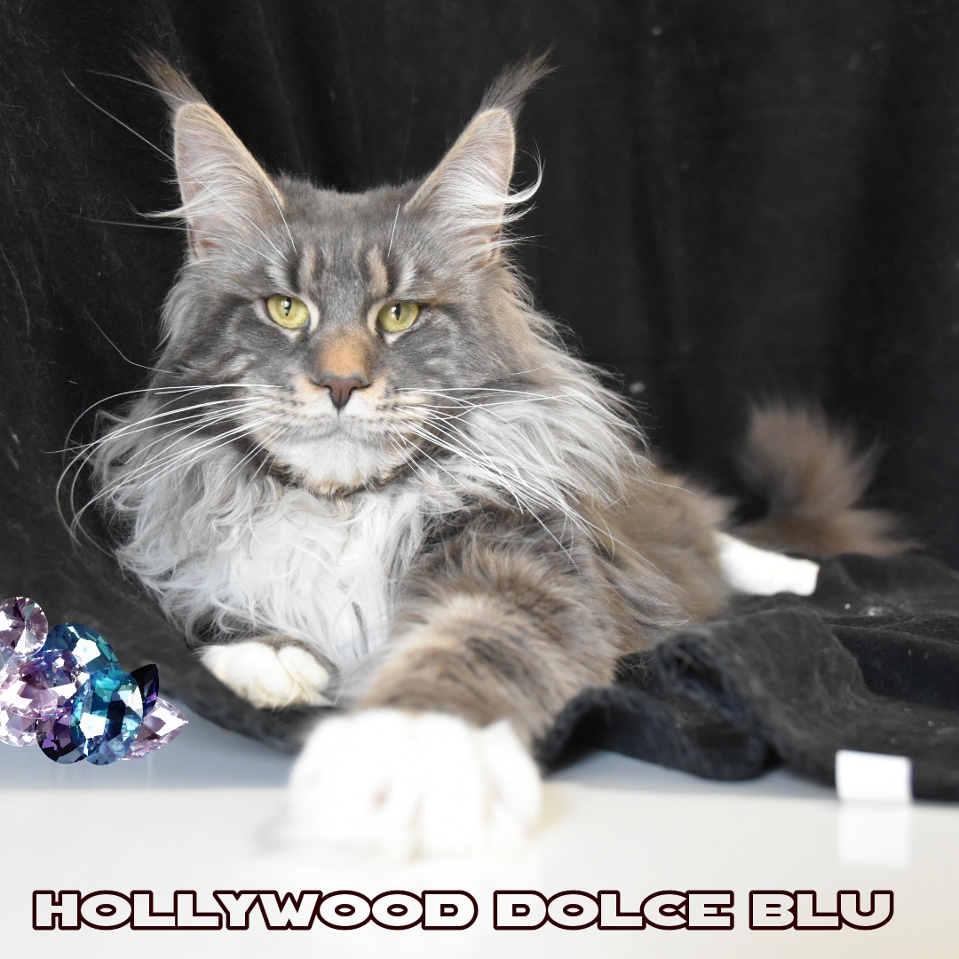 Hollywood Dolce blu Maine coon maschio blu tabby bloched con bianco TEST HCM SMA PKDEF N/N