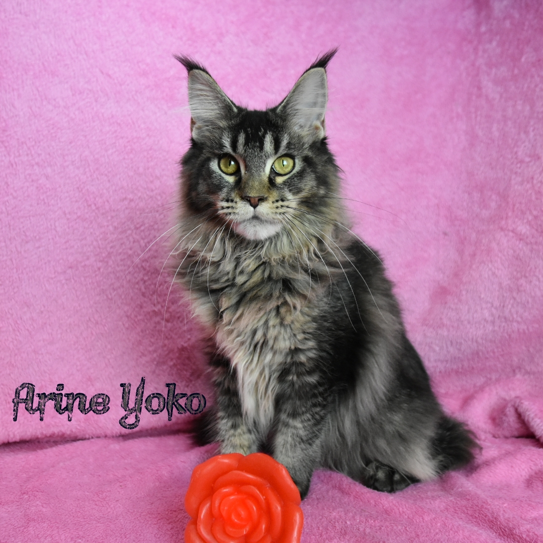 Maine coon black tiked tabby allevamento Dolce blu