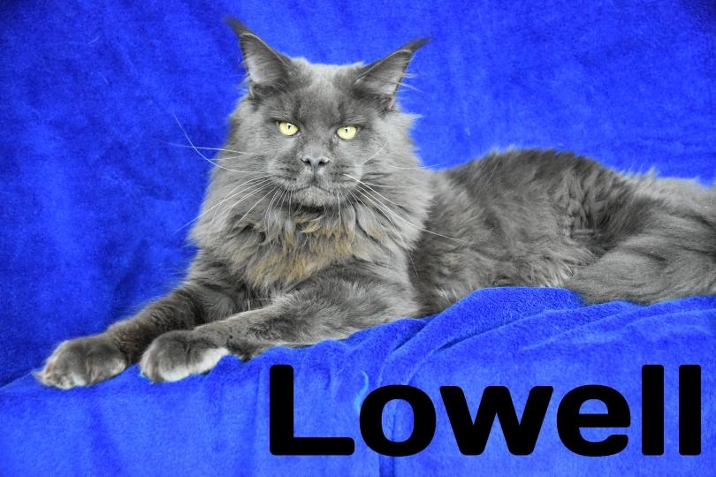 Well being Lowell Maine coon maschio blu allevamento Dolce blu