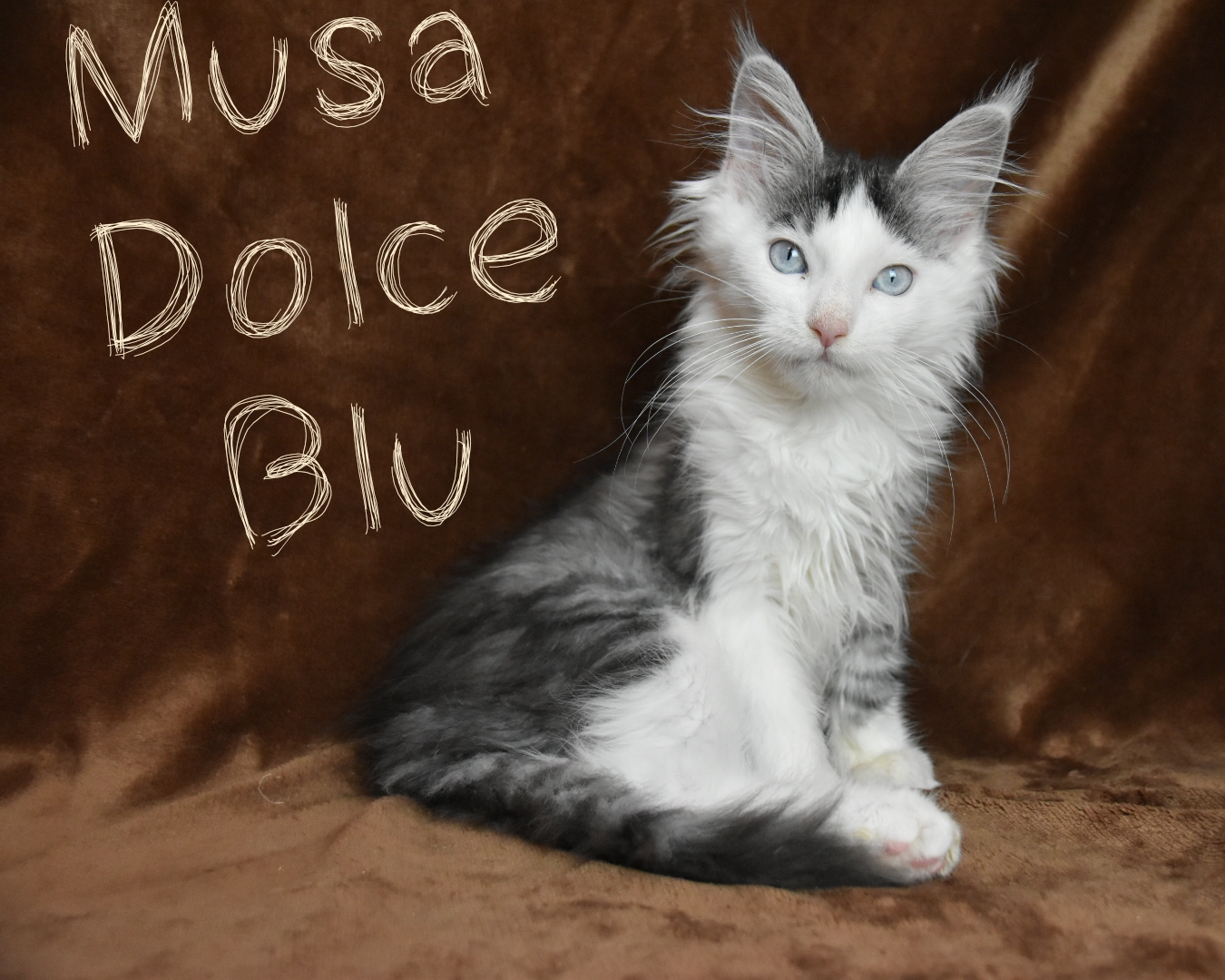 Maine coon black silver tabby blue eyes