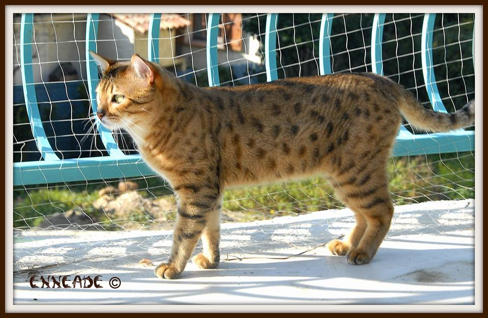 brown (black) spotted tabby (bronze)