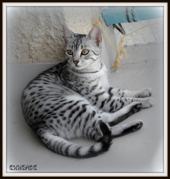black silver spotted tabby