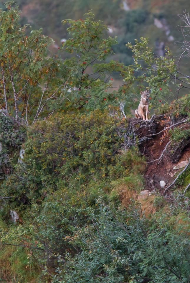 La rencontre avec le loup. Photo Lionel Tassan. Merci