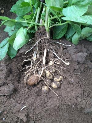 """Hier bei einer Bonitur: Die Mutterkartoffel und die angesetzten """"Kartöffelchen""""."""