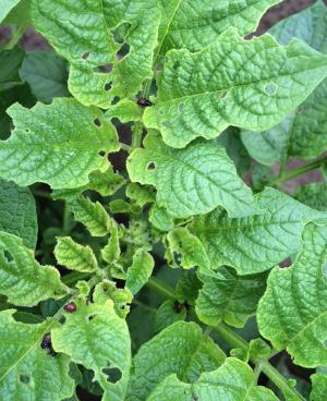 Was ist das denn?!? Ein paar Kartoffelkäferlarven sind ok, damit werden diePflanzen fertig. Sonst müssen Pflanzenschutzmittel her!