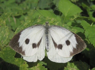 "bron: ""Large white spread wings"" by I, S Sepp. Licensed under CC BY-SA 3.0 via Wikimedia Commons - http://commons.wikimedia.org/wiki/File:Large_white_spread_wings.jpg#/media/File:Large_white_spread_wings.jpg"