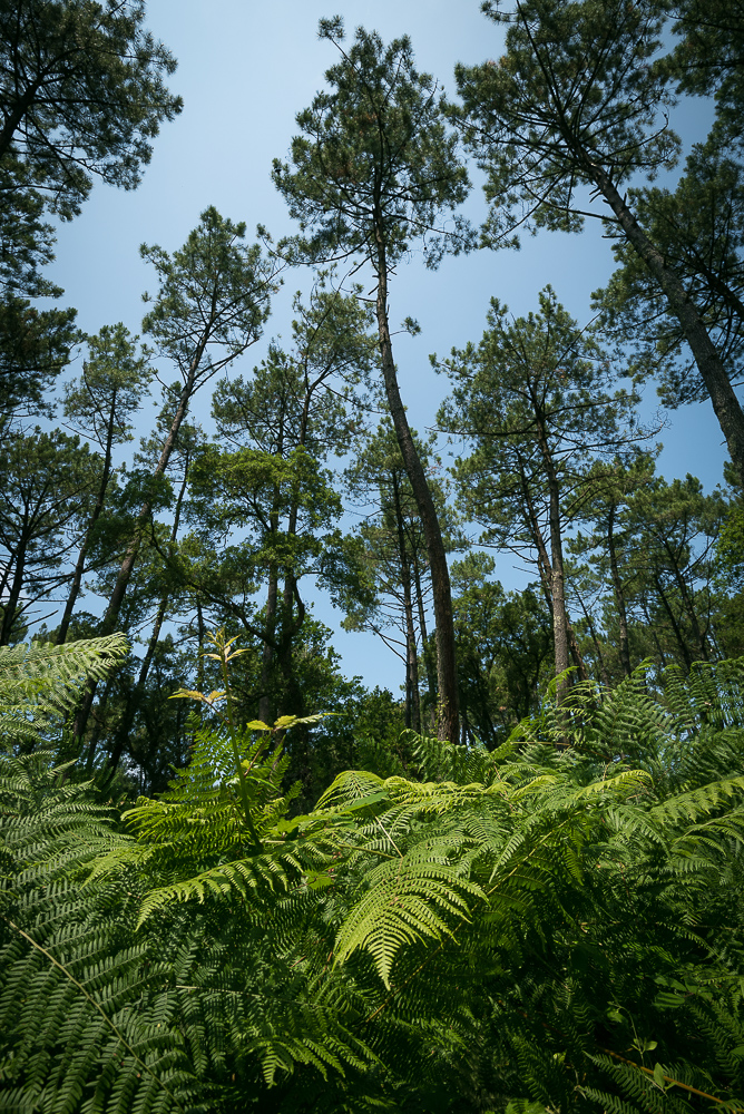 Pine trees, Seignosse, Les Landes, Nouvelle-Aquitaine, France