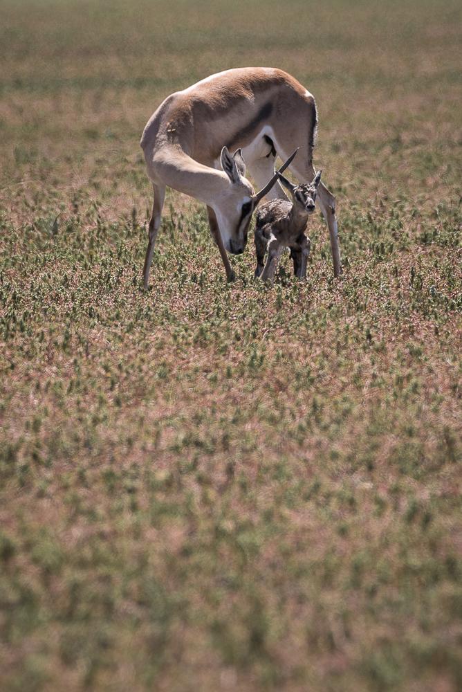 Grant's gazelle, Ngorongoro