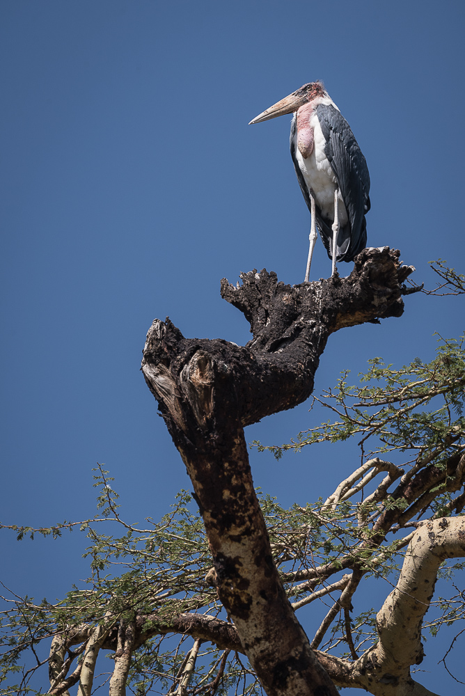 Marabou, Marabu, Ngorongoro