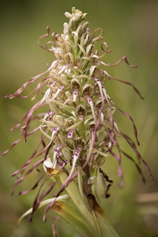 Lizard orchid, Bocks-Riemenzunge (Himantoglossum hircinum), VD, Switzerland