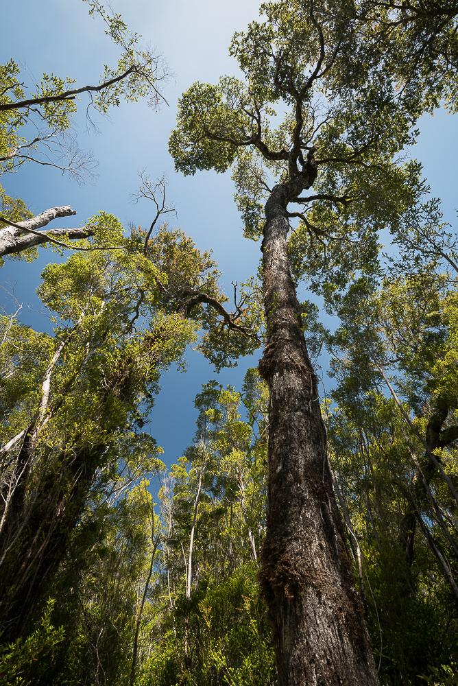 Trees on Chiloé